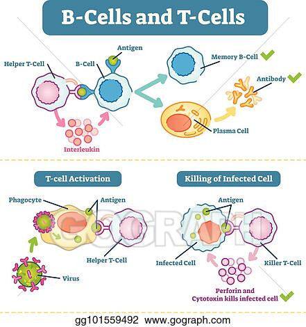 EPS Illustration - B-cells and t-cells schematic diagram, vector ...