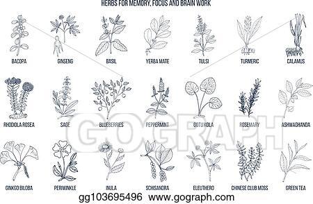 EPS Illustration - Best medicinal herbs for memory, focus