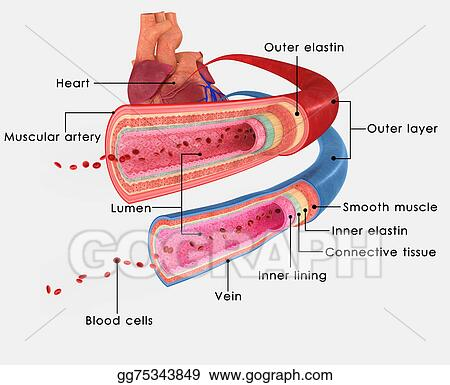 Drawing - Blood vessels. Clipart Drawing gg75343849 - GoGraph