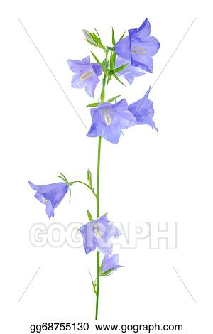 Stock illustration bluebell flower is isolated on a white bluebell flower is isolated on a white background mightylinksfo
