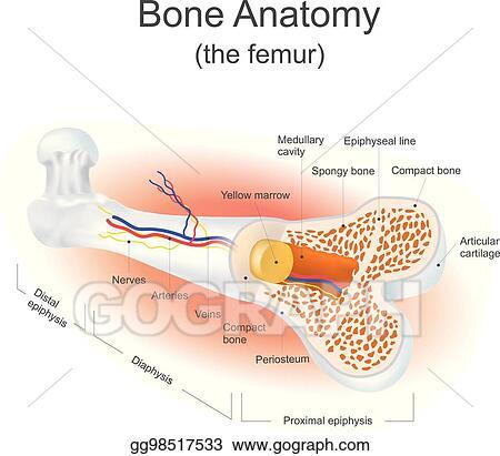 Vector Illustration - Bone anatomy (the femur). EPS Clipart ...