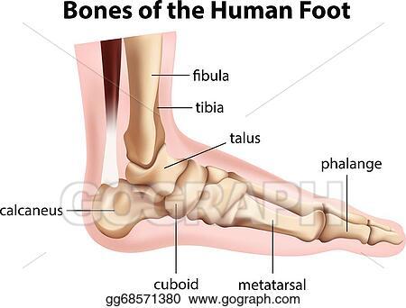 Eps Illustration Bones Of The Human Foot Vector Clipart