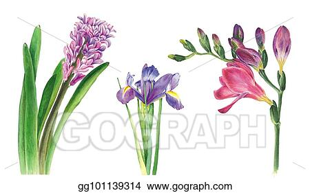 e36c4bba8 Botanical watercolor illustration of hyacinth, freesia and iris on white  background. Could be used for web design, polygraphy or textile flower