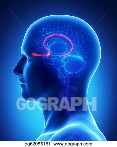Stock Illustration Brain Anatomy Olfactory Bulb Cross Section