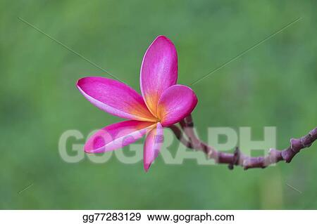 Branch Of Tropical Pink Flowers Frangipani Plumeria On Dark Gr