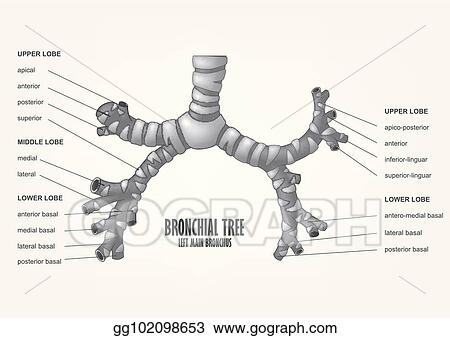 EPS Vector - Bronchial tree left main bronchus human anatomy. Stock ...