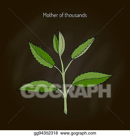 Clip Art Vector - Bryophyllum daigremontianum, or mother of ... Mother Of Thousands Plant Called on plant care, plant life in mexico, plant called string of hearts, plant called crown of thorns, plant mother of the world,