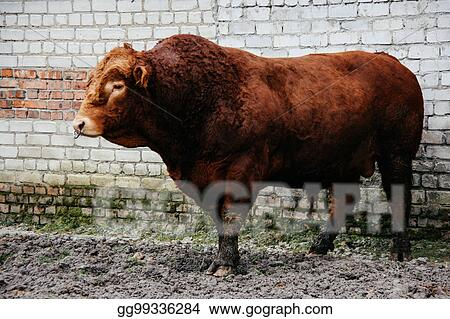 Stock Photo Bull With Nose Ring Stock Photos Gg99336284 Gograph