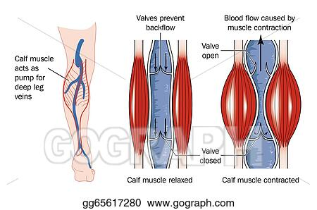 Vector Illustration Calf Muscle Pump Eps Clipart Gg65617280 Gograph
