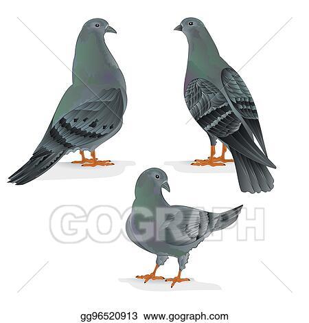 Clip Art Vector Carriers Pigeons Domestic Breeds Sports Birds