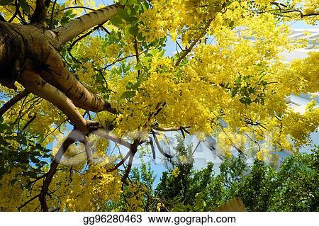 Stock photography cassia fistula tree yellow flower stock image cassia fistula tree yellow flower mightylinksfo