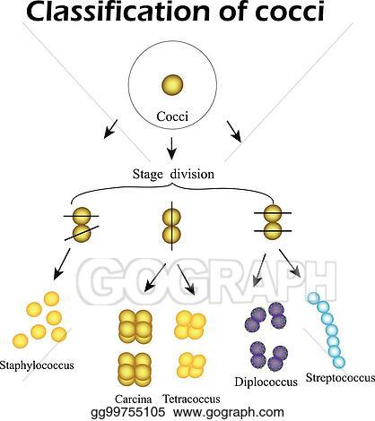Vector clipart classification of cocci bacteria infographics classification of cocci bacteria infographics vector illustration ccuart Gallery