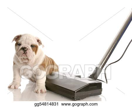 Stock Images - Cleaning up after puppy - english bulldog