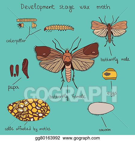 clip art vector development stage wax moth color stock eps