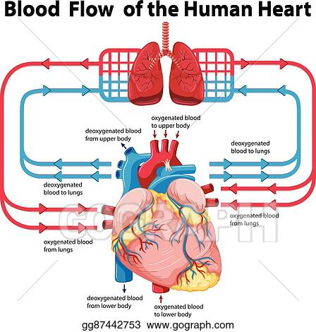 Vector Art Diagram Showing Blood Flow Of Human Heart Eps