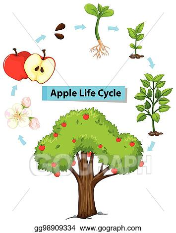 Vector Clipart Diagram Showing Life Cycle Of Apple Vector