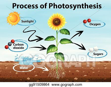 Vector Clipart Diagram Showing Process Of Photosynthesis Vector