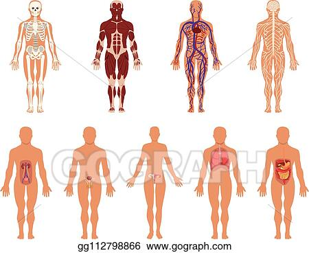 vector stock different human organ system set muscular circulatory respiratory nervous digestive excretory sexual systems human body anatomy vector illustrations stock clip art gg112798866 gograph https www gograph com clipart license summary gg112798866