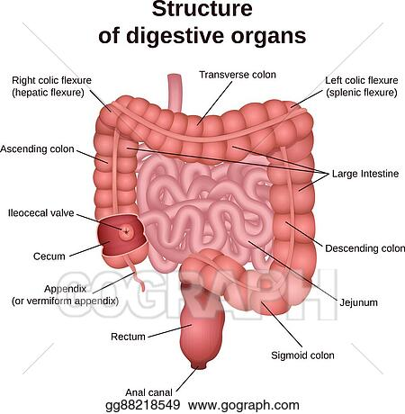 EPS Illustration - Digestive tract image intestine. Vector Clipart ...