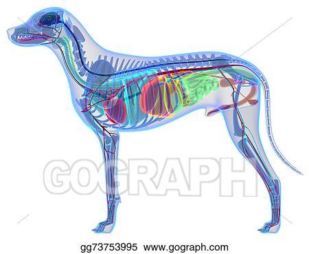 Stock Illustration Dog Anatomy Internal Anatomy Of A Male Dog