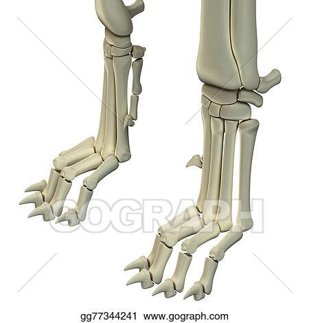 Stock Illustration Dog Hind Legs Anatomy Bones Clipart
