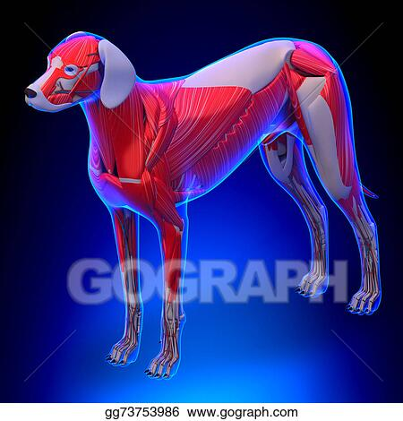 Stock Image Dog Muscles Anatomy Anatomy Of A Male Dog Muscles