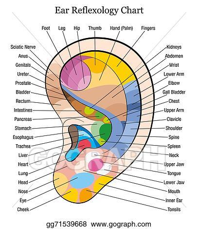 Vector Illustration Ear Reflexology Chart Description W Stock