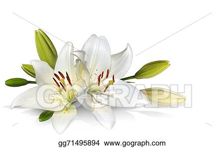 Stock Photography Easter Lily Flowers On White Stock Image