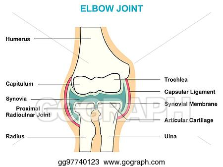 Vector Art Elbow Joint Cross Section Anatomy Diagram Eps Clipart