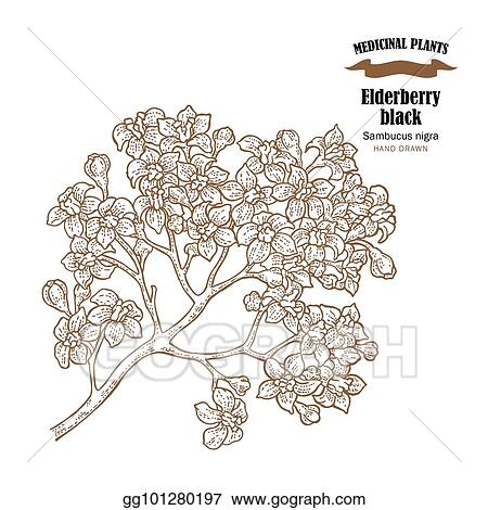 Eps vector elderberry black common names sambucus nigra hand elderberry black common names sambucus nigra hand drawn elder branch with flowers vector illustration isolated on white background mightylinksfo