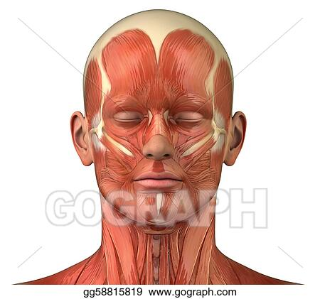 Stock Photograph - Facial muscular system anatomy front anterior ...