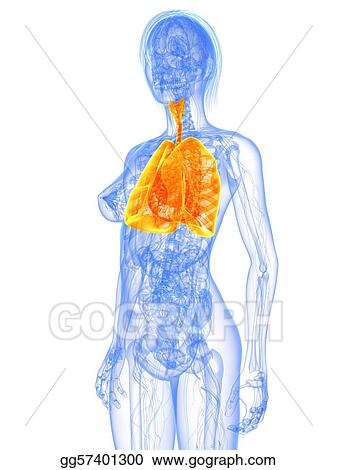 Clip Art - Female anatomy - lung. Stock Illustration gg57401300 ...