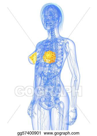 Stock Illustration - Female anatomy - mammary glands . Clipart ...