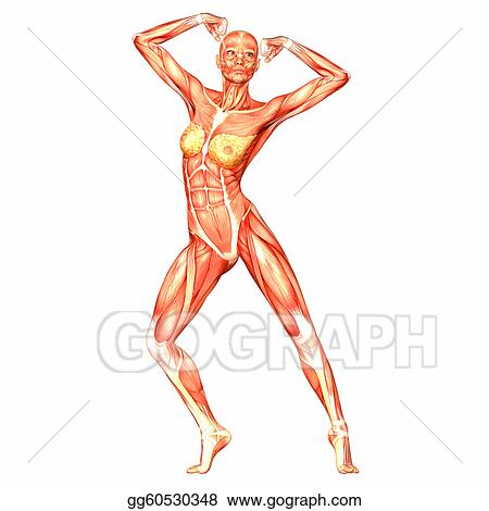 Stock Illustrations - Female body anatomy. Stock Clipart gg60530348 ...