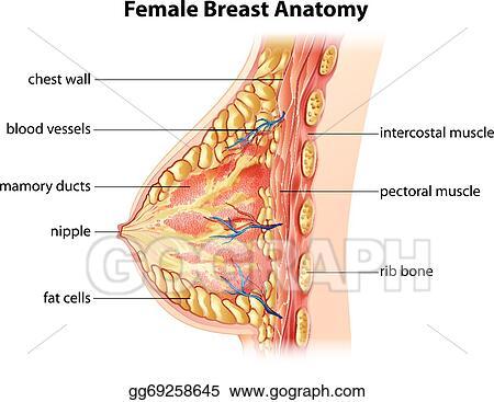 EPS Illustration - Female breast anatomy . Vector Clipart gg69258645 ...