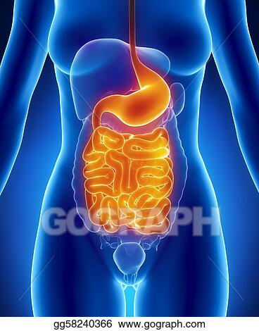 Stock Photograph - Female guts and stomach anatomy anterior x-ray ...