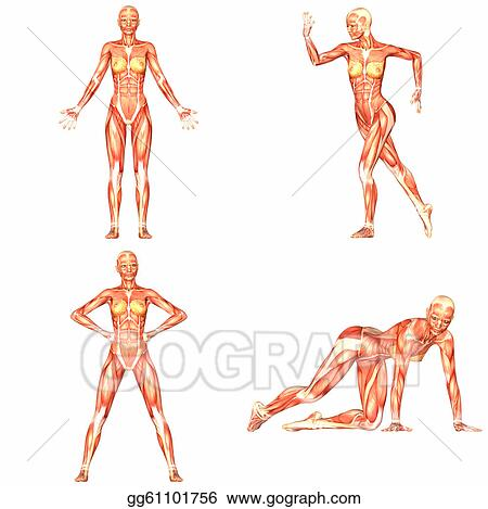 Drawings - Female human body anatomy pack-4of5. Stock Illustration ...