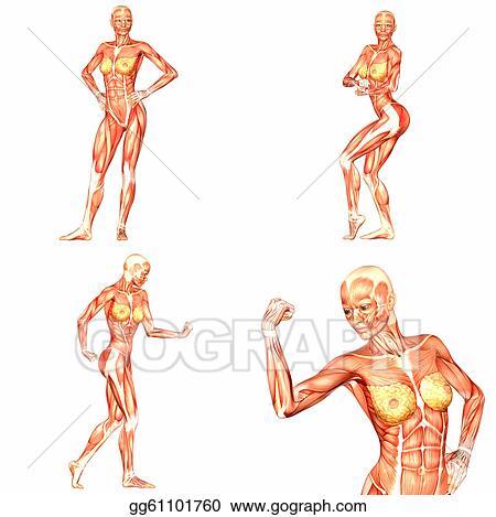 Stock Illustration - Female human body anatomy pack-5of5. Clipart ...