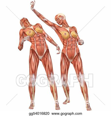 Drawings - Female human body anatomy-street fight. Stock ...