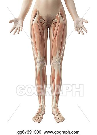 Drawing Female Leg Muscles Clipart Drawing Gg67391300 Gograph