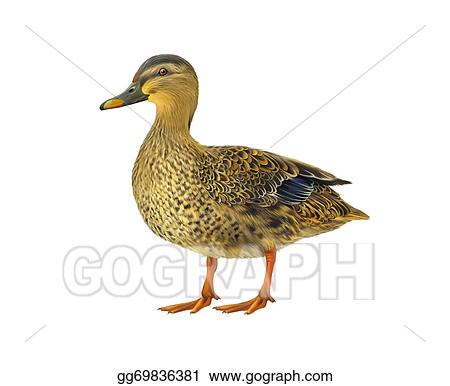 Drawing Female Mallard Duck Isolated On White Background Clipart