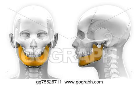 Drawing - Female mandible bone skull anatomy - isolated on white ...