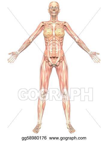 Stock Illustration Female Muscular Anatomy Semi Transparent Front