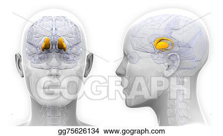 Stock Illustration Female Thalamus Brain Anatomy Isolated On