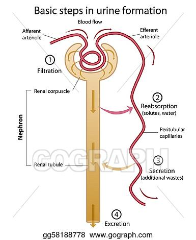Diagram of urine formation data wiring diagrams eps illustration formation of urine vector clipart gg58188778 rh gograph com schematic diagram of urine formation ccuart Images