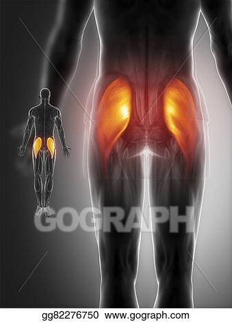 Stock Illustration - Gluteus maximus - anatomy muscles map. Clipart ...