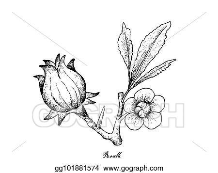 Clip Art Vector Hand Drawn Of Hibiscus Sabdariffa Or Roselle