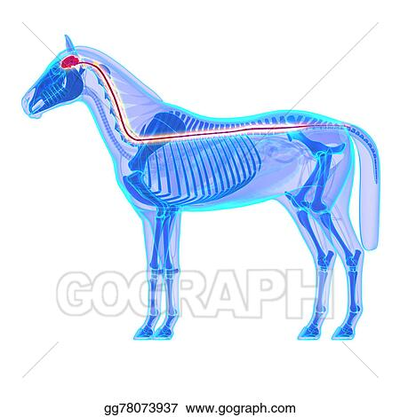 Drawings Horse Brain And Spinal Cord Horse Equus Anatomy