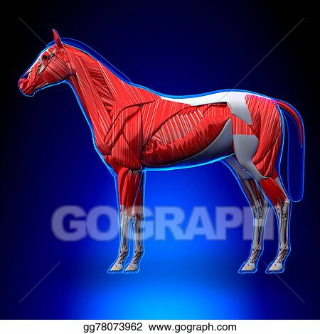 Drawing - Horse muscles - horse equus anatomy - on blue background ...