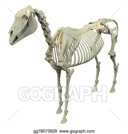 Stock Illustration Horse Skeleton Horse Equus Anatomy Isolated